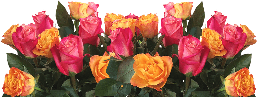 Beautiful Yellow and Pink Roses