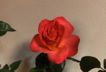 Hybrid Tea Princess 2019 NCD Rose Show exhibited by Doug Amon Ring of Fire